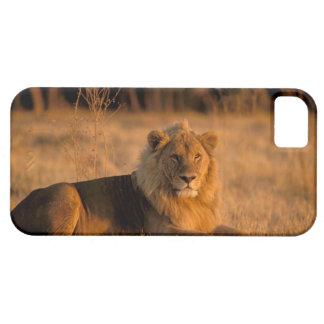 Africa, Botswana, Okavango Delta. Lion (Panthera iPhone 5 Covers