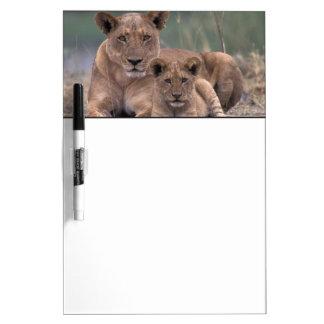 Africa, Botswana, Okavango Delta. Lions Dry Erase Board