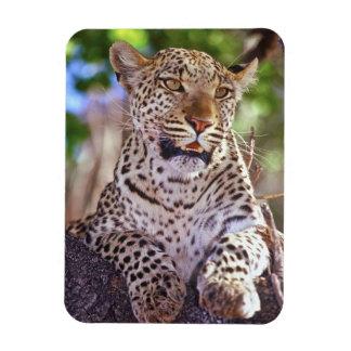 Africa, Botswana, Okvango Delta, wild leopard. 2 Magnet