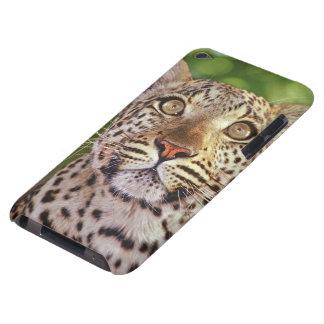 Africa, Botswana, Okvango Delta, wild leopard. Barely There iPod Case