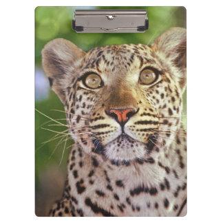 Africa, Botswana, Okvango Delta, wild leopard. Clipboard