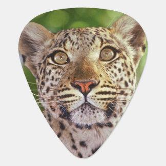 Africa, Botswana, Okvango Delta, wild leopard. Plectrum