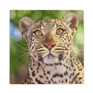 Africa, Botswana, Okvango Delta, wild leopard. Wood Coaster