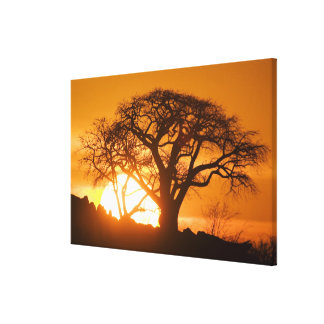 Africa, Botswana, Setting sun silhouettes Baobab Canvas Print