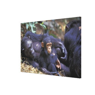 Africa, East Africa, Tanzania, Gombe NP Female Canvas Print