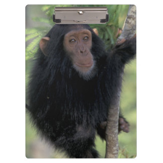 Africa, East Africa, Tanzania, Gombe NP Infant Clipboard