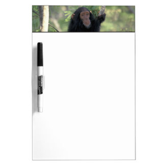 Africa, East Africa, Tanzania, Gombe NP Infant Dry Erase Board