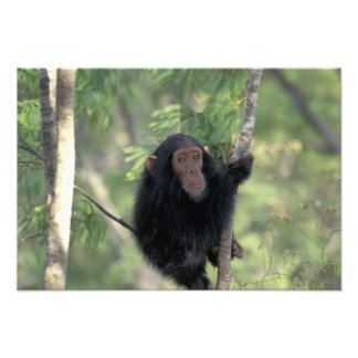 Africa, East Africa, Tanzania, Gombe NP Infant Photo