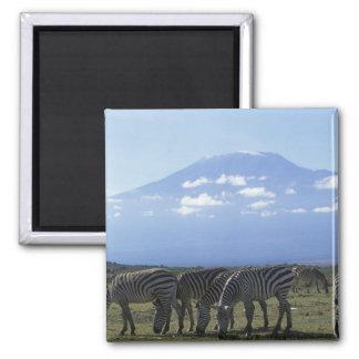Africa, Kenya, Amboseli National Park, Herd of Magnet