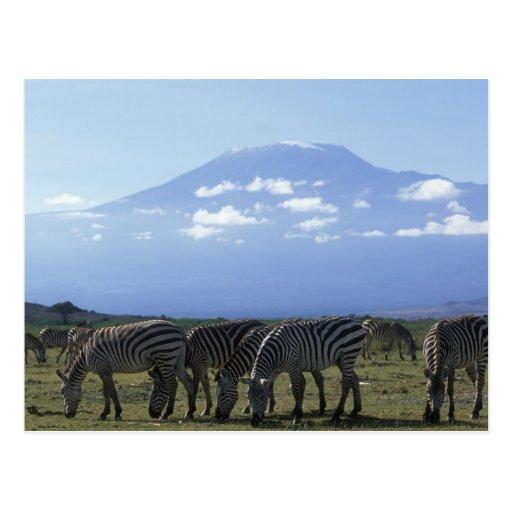 Africa, Kenya, Amboseli National Park, Herd of Postcards