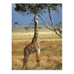 Africa, Kenya, Amboseli NP. A Common, or Masai, Postcards