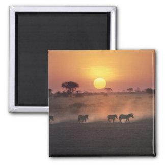 Africa, Kenya, Amboseli NP. Zebra walk to the Refrigerator Magnets
