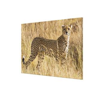 Africa. Kenya. Cheetah at Samburu NP. 2 Gallery Wrapped Canvas