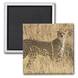 Africa. Kenya. Cheetah at Samburu NP. 2 Magnet