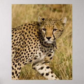 Africa. Kenya. Cheetah at Samburu NP. 3 Poster
