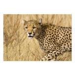 Africa. Kenya. Cheetah at Samburu NP. Photo