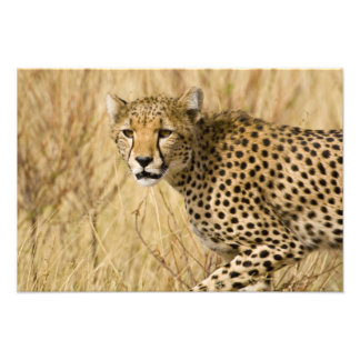 Africa. Kenya. Cheetah at Samburu NP. Photo Print