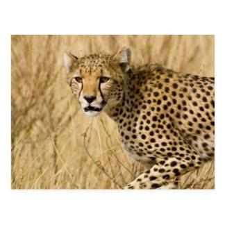 Africa. Kenya. Cheetah at Samburu NP. Postcard