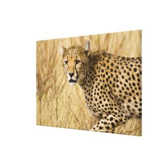 Africa. Kenya. Cheetah at Samburu NP. Stretched Canvas Print