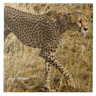 Africa. Kenya. Cheetah at Samburu NP. Tile