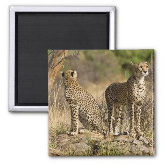 Africa. Kenya. Cheetahs at Samburu NP. Magnet