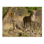 Africa. Kenya. Cheetahs at Samburu NP. Postcard