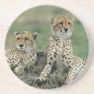 Africa, Kenya, Cheetahs Coaster