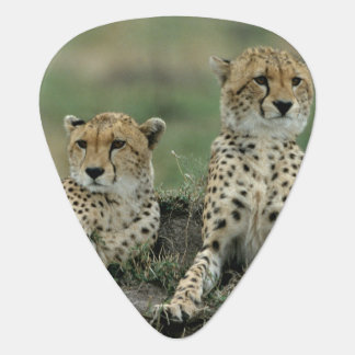 Africa, Kenya, Cheetahs Guitar Pick