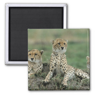 Africa, Kenya, Cheetahs Magnet