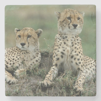 Africa, Kenya, Cheetahs Stone Coaster