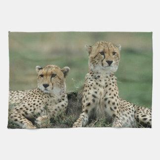 Africa, Kenya, Cheetahs Tea Towel