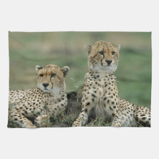 Africa, Kenya, Cheetahs Tea Towels