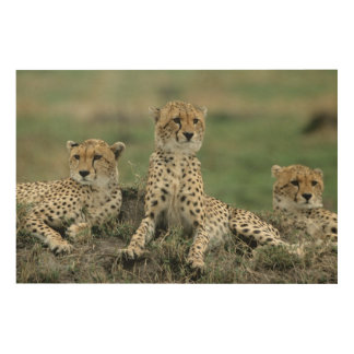 Africa, Kenya, Cheetahs Wood Prints