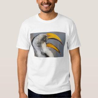 Africa. Kenya. Eastern Yellow-billed Hornbill at Shirt