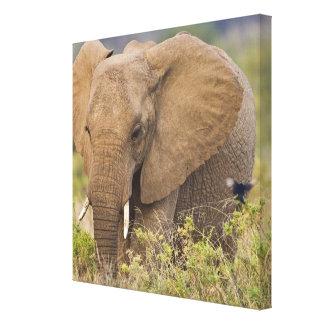 Africa. Kenya. Elephant at Samburu NP. Stretched Canvas Prints