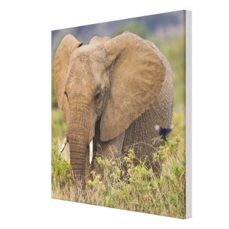 Africa. Kenya. Elephant at Samburu NP. Canvas Print
