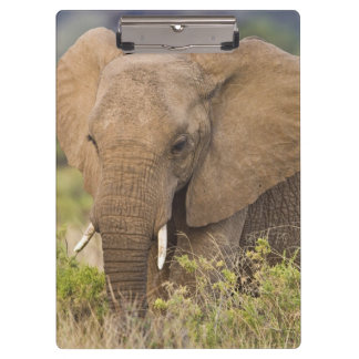 Africa. Kenya. Elephant at Samburu NP. Clipboard