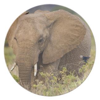 Africa. Kenya. Elephant at Samburu NP. Plate