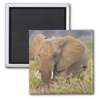 Africa. Kenya. Elephant at Samburu NP. Square Magnet