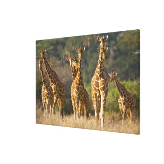 Africa. Kenya. Herd of Reticulated Giraffes at Canvas Print
