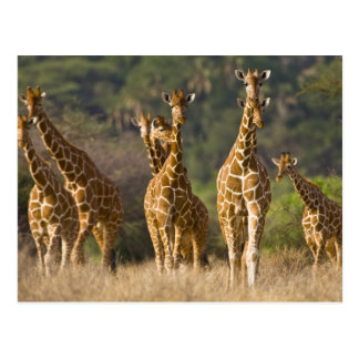 Africa. Kenya. Herd of Reticulated Giraffes at Postcard