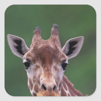 Africa, Kenya, Impala Ranch. Reticulated Square Sticker