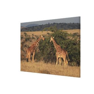 Africa, Kenya, Lewa Downs, Two reticulated Canvas Prints