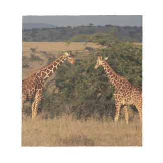 Africa, Kenya, Lewa Downs, Two reticulated Notepads