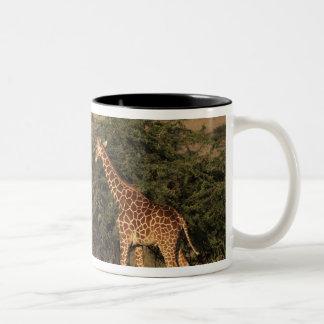 Africa, Kenya, Lewa Downs, Two reticulated Two-Tone Coffee Mug
