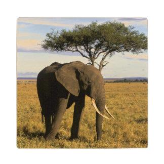 Africa, Kenya, Maasai Mara. An elehpant in the Wood Coaster