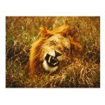 Africa, Kenya, Maasai Mara. Male lion. Wild Postcards