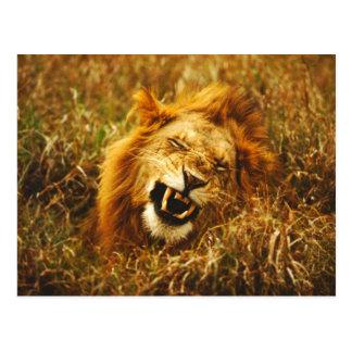 Africa, Kenya, Maasai Mara. Male lion. Wild Postcard