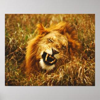 Africa, Kenya, Maasai Mara. Male lion. Wild Poster