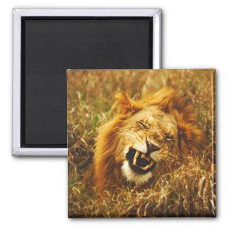 Africa, Kenya, Maasai Mara. Male lion. Wild Square Magnet